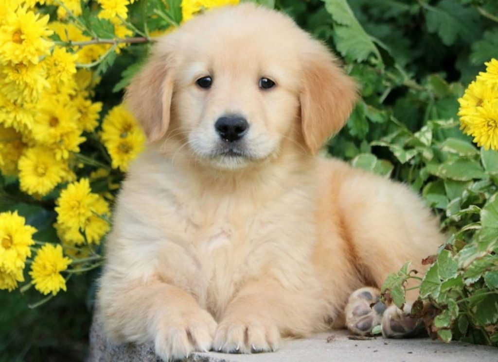 Golden Retriever puppy laying outside