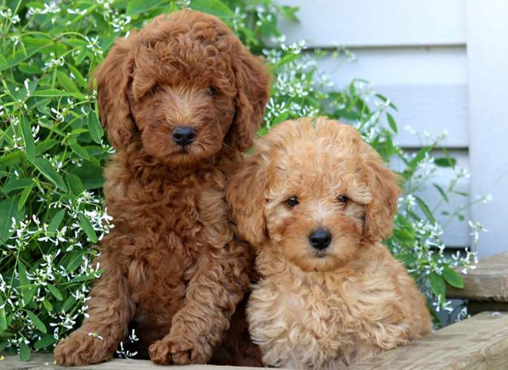 Mini Poodle puppies for sale in PA