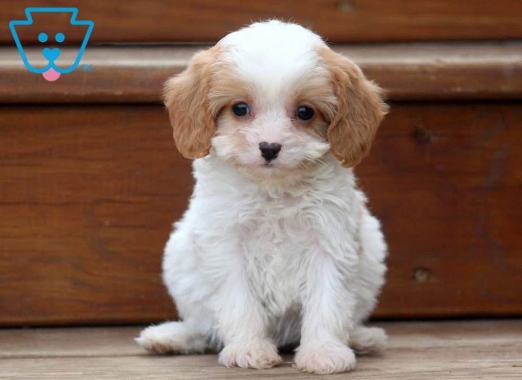 Cavapoo puppy for sale in PA