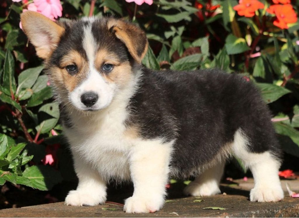 Bring home a Welsh Corgi Puppy