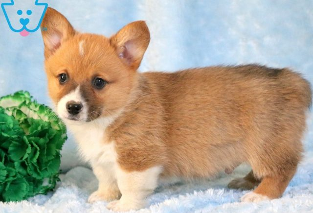 Alf Welsh Corgi 1