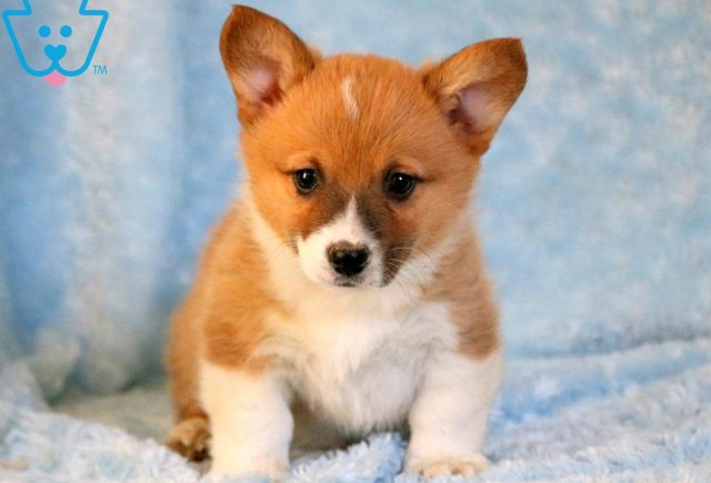 Alf Welsh Corgi 2