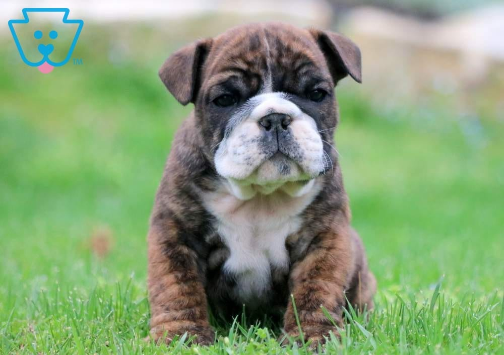 Baby English Bulldog Puppy For