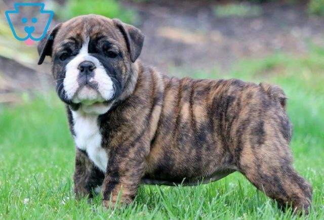 Beauty-English-Bulldog-Non-Sporting-Breed-Dog-AKC
