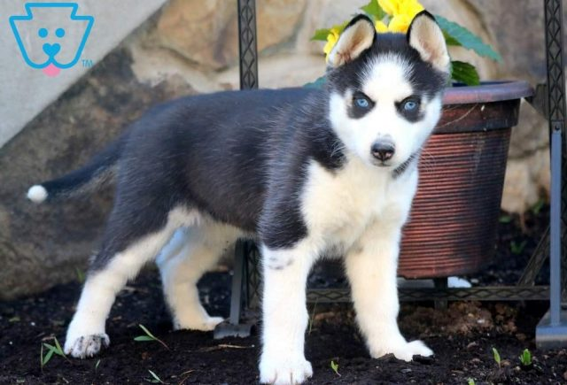 Bell2-Siberian-Husky-Working-Dog-Breed-AKC