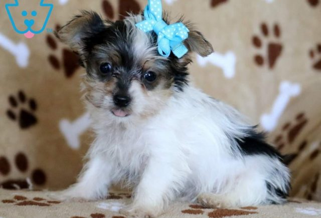 Bo-Yorkshire-Terrier-Dog-Breed-AKC