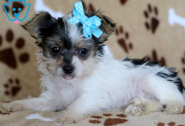 Bo2-Yorkshire-Terrier-Dog-Breed-AKC