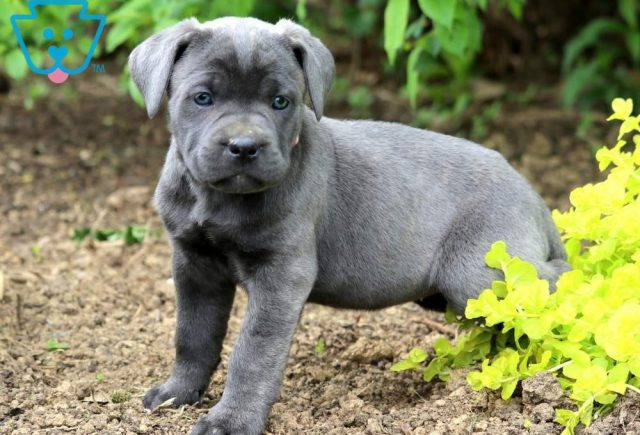 Buttercup-Cane-Corso-Working-Dog-Breed-AKC