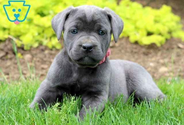 Buttercup2-Cane-Corso-Working-Dog-Breed-AKC