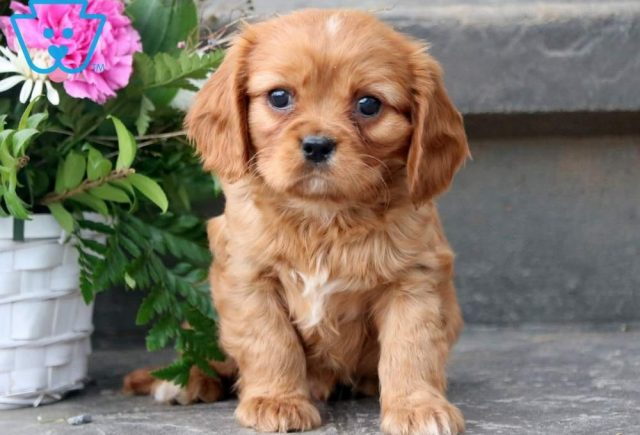 Carson-Cavalier-King-Charles-Spaniel-Toy-Breed-Dog-AKC