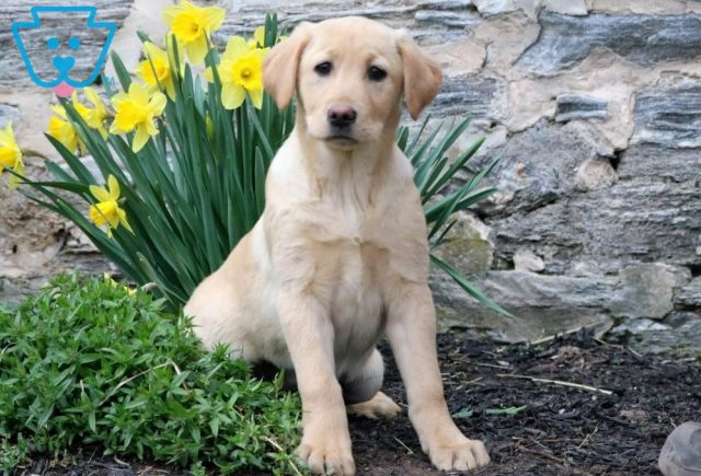 Celly-Labrador-Retriever-Sporting-Dog-Breed-AKC-Yellow