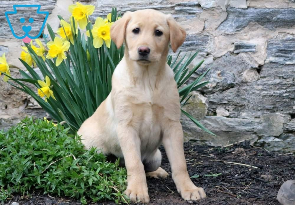 Buy Yellow Lab Retriever Breeder Puppies For Sale In Maine USA