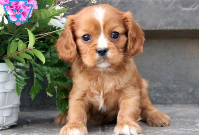 Charlie-Cavalier-King-Charles-Spaniel-Toy-Breed-Dog-AKC