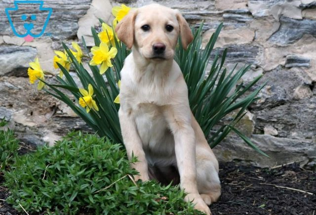 China-Labrador-Retriever-Sporting-Dog-Breed-AKC-Yellow