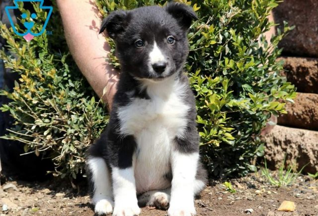 Clair-Border-Collie-Herding-Dog-Breed-AKC