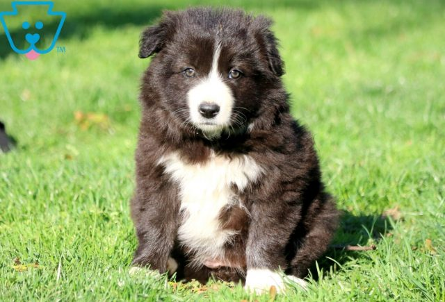 Daisy Border Collie 1