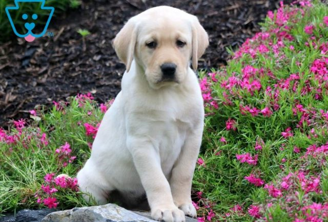 Daisy-May-Labrador-Retriever-Sporting-Dog-Breed-AKC-Yellow