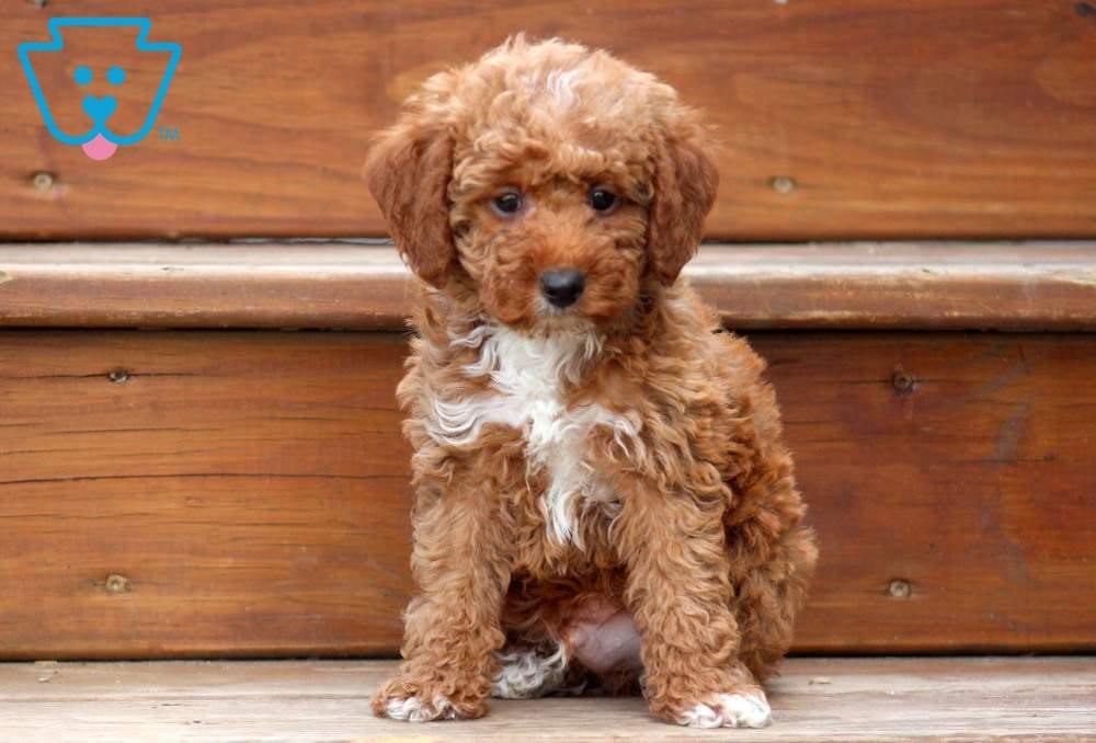 Poodle Puppies for sale in Newfoundland And Labrador Canada