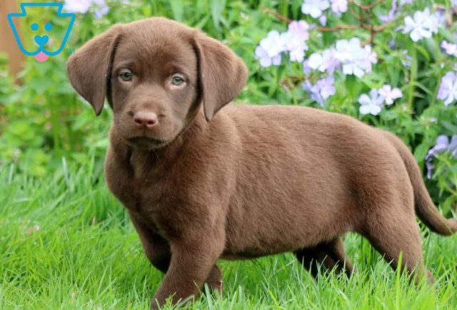 Dandy-Labrador-Retriever-Sporting-Dog-Breed-AKC-Chocolate