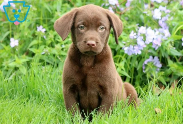 Dandy2-Labrador-Retriever-Sporting-Dog-Breed-AKC-Chocolate