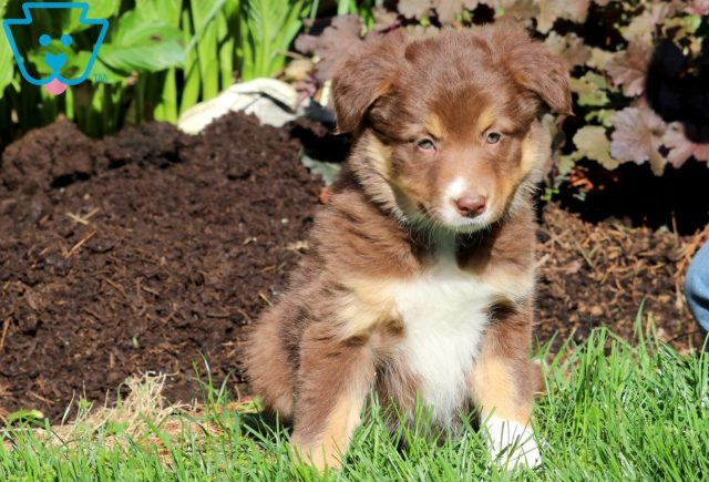 Dianthus Border collie 1