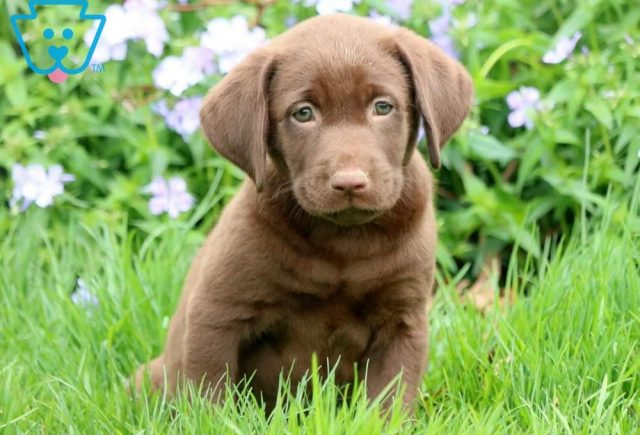 Dove-Labrador-Retriever-Sporting-Dog-Breed-AKC-Chocolate