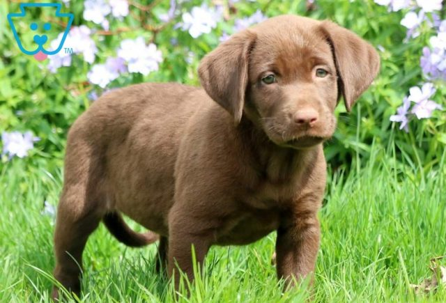 Dove2-Labrador-Retriever-Sporting-Dog-Breed-AKC-Chocolate