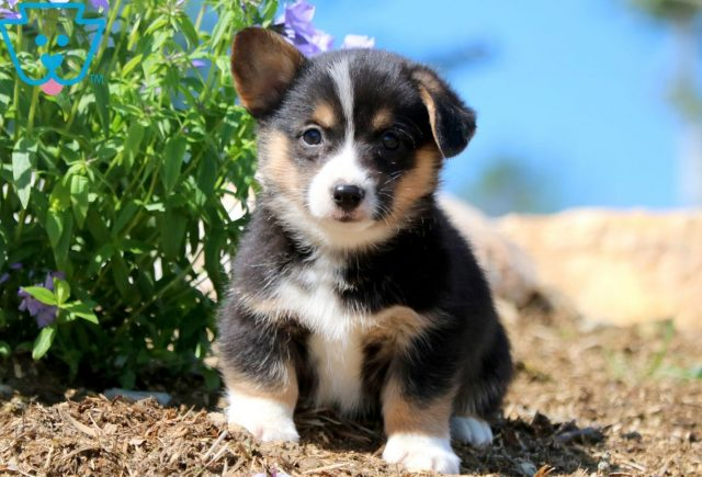 Flintstone Welsh Corgi 1