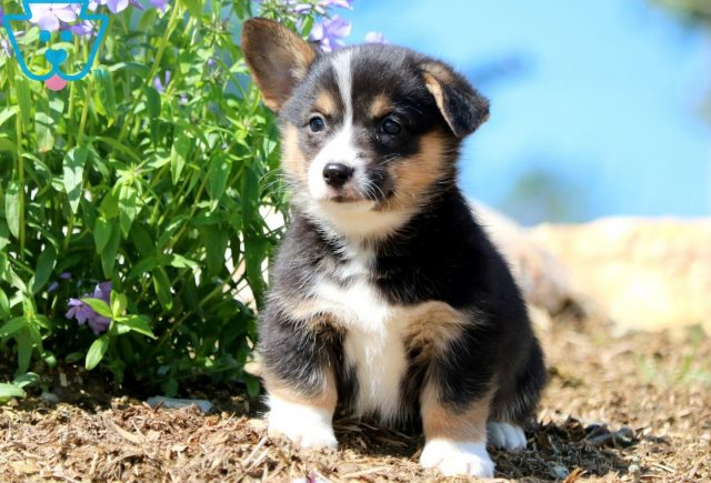 Flintstone Welsh Corgi 2