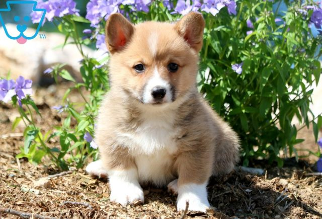 Forest Welsh Corgi 1