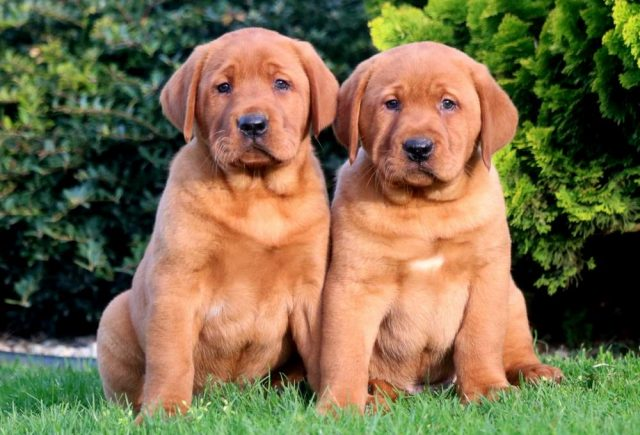 Fox Red Lab Boys