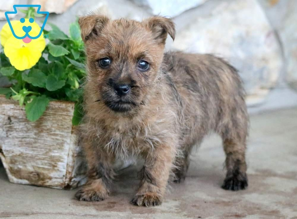 Frankie | Cairn Terrier Puppy For Sale | Keystone Puppies
