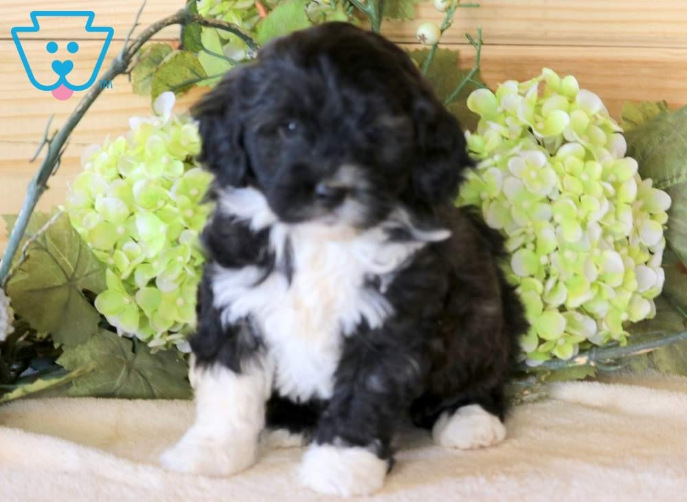 Polly Portuguese Water Dog Mix Puppy