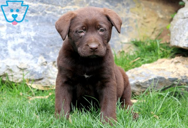 Patsy Chocolate Lab 1