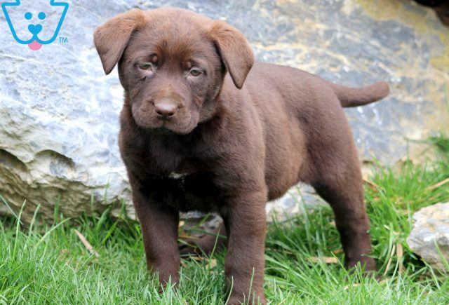 Patsy Chocolate Lab 2