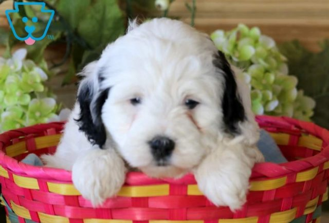 Pixie-Portuguese-Water-Dog-Mixed-Breed
