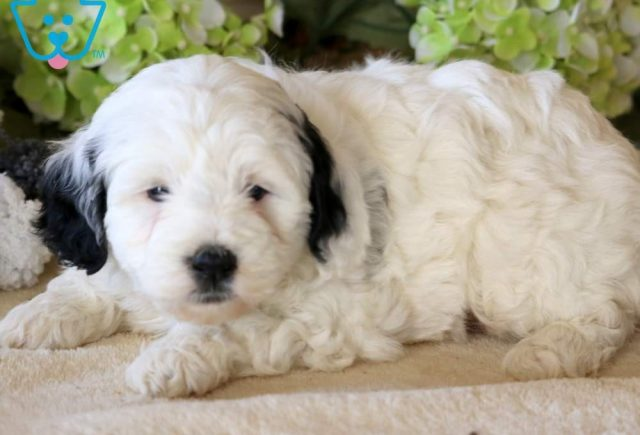 Pixie2-Portuguese-Water-Dog-Mixed-Breed