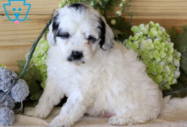 Pretty-Portuguese-Water-Dog-Mixed-Breed