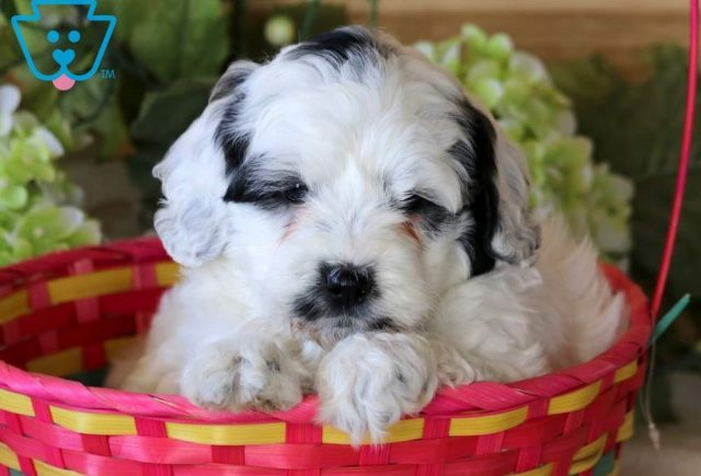 Pretty2-Portuguese-Water-Dog-Mixed-Breed