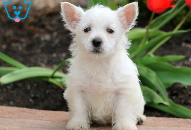 Sabrina-West-Highland-Terrier-Dog-Breed-AKC