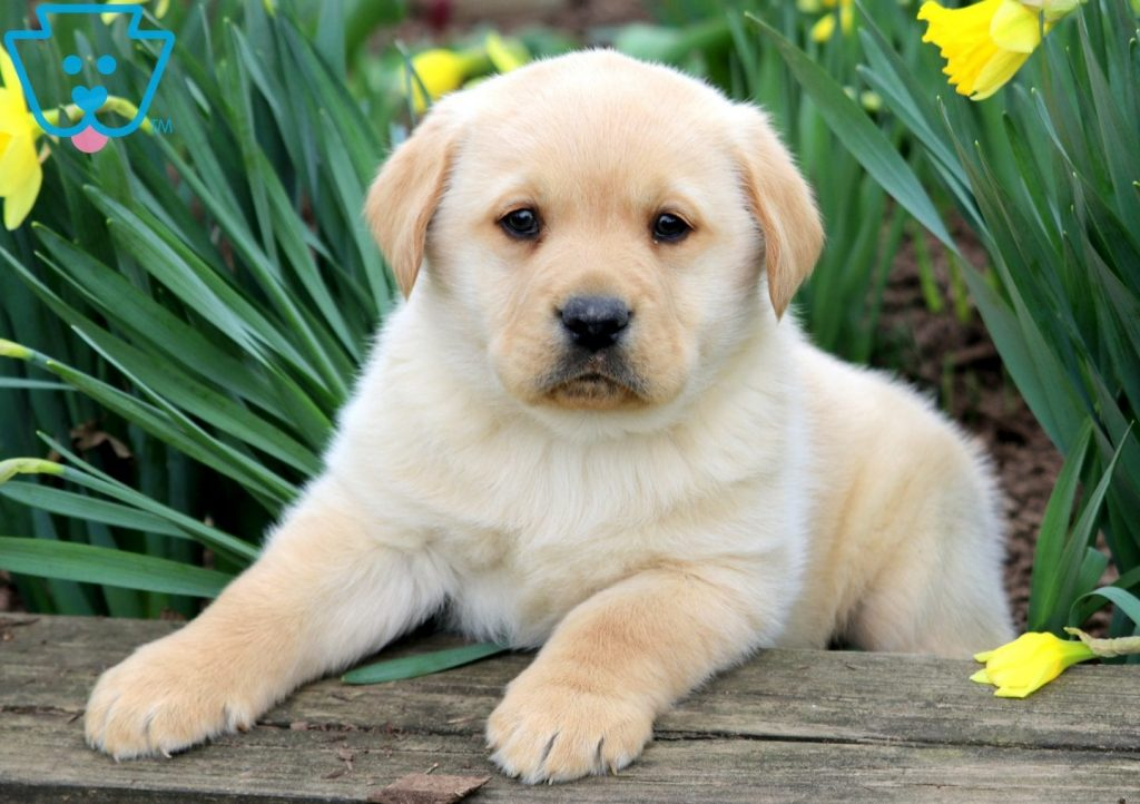 Buy Yellow Lab Puppies For Sale In Oregon USA