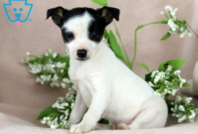 Special-Foxy-Russell-Designer-Breed-Dog-Terrier-Jack-Russell-ACHC-IDCR-ICA