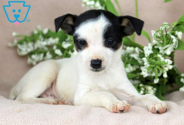 Special2-Foxy-Russell-Designer-Breed-Dog-Terrier-Jack-Russell-ACHC-IDCR-ICA