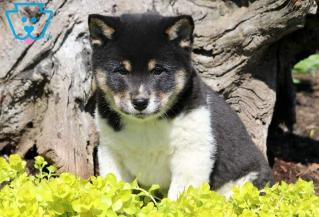 Spice-Shiba-Inu-Nonsporting-Dog-Breed-AKC