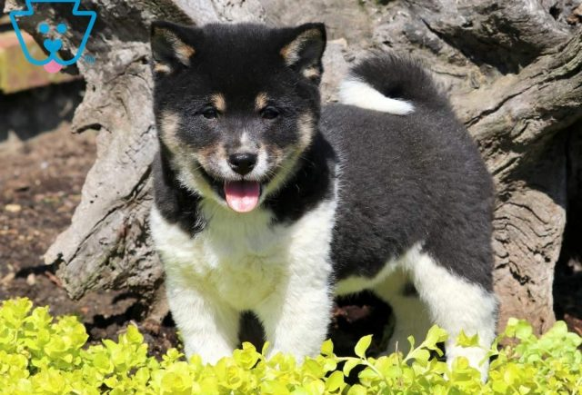 Spice2-Shiba-Inu-Nonsporting-Dog-Breed-AKC