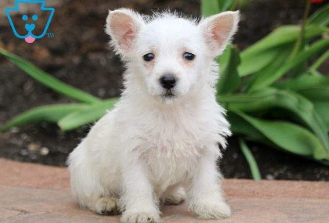 spring-West-Highland-Terrier-Dog-Breed-AKC