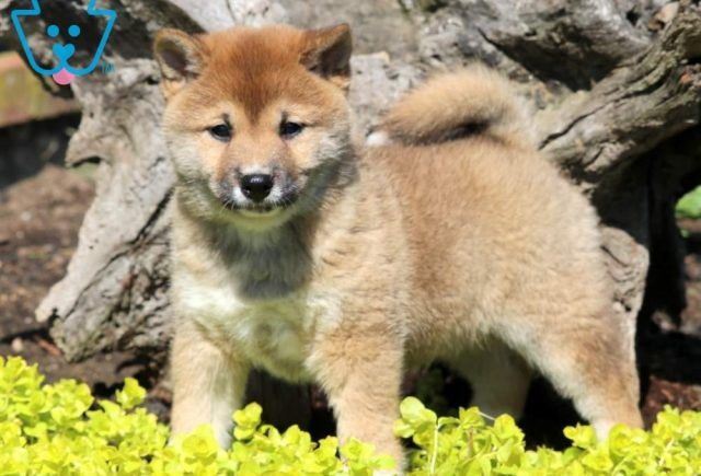 Sweet-Pea-Shiba-Inu-Nonsporting-Dog-Breed-AKC