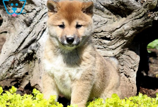 Sweet-Pea2-Shiba-Inu-Nonsporting-Dog-Breed-AKC`