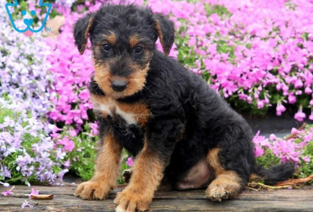 Timbo-Airdale-Terrier-Breed-Dog-AKC