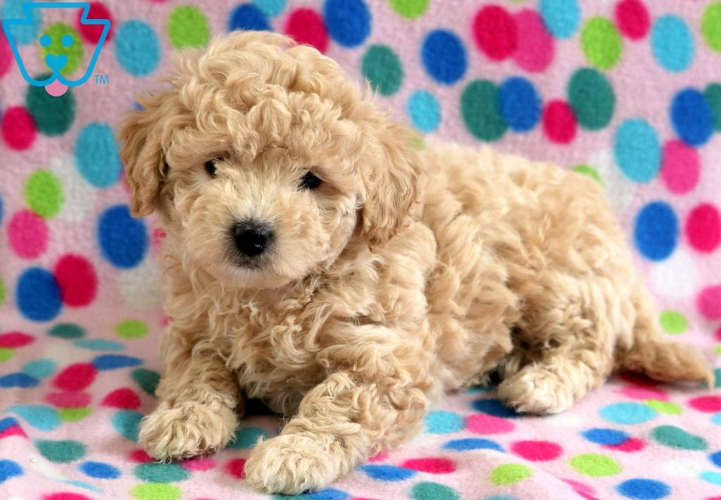 Tinkerbell | Bichpoo Puppy For Sale | Keystone Puppies